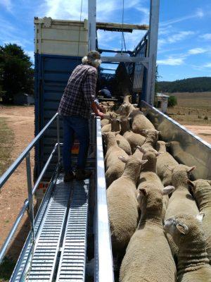 8 Metre Adjustable Sheep Loading ramp (2)