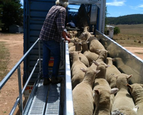 8 Metre Adjustable Sheep Loading ramp (2)
