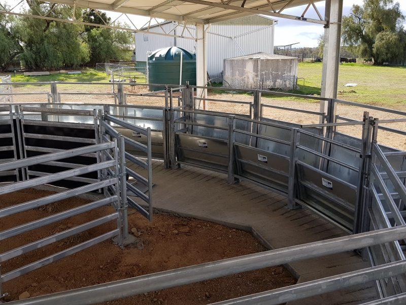 Cattle Race (3)