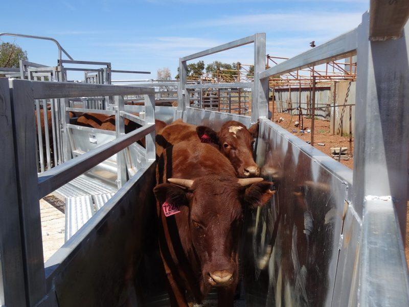 Cattle Race (4)