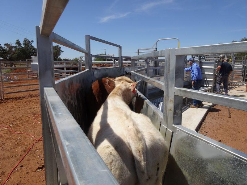Cattle Race (5)