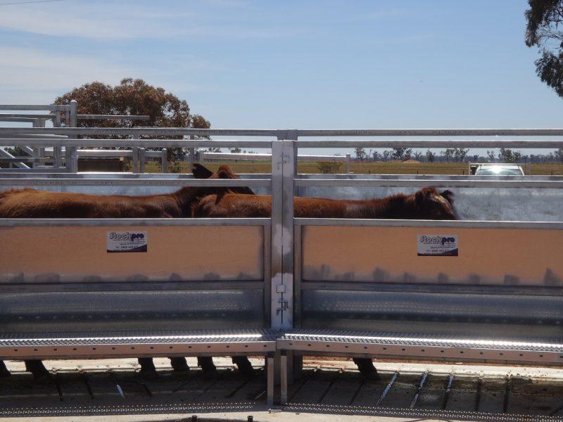 Cattle Race (6)