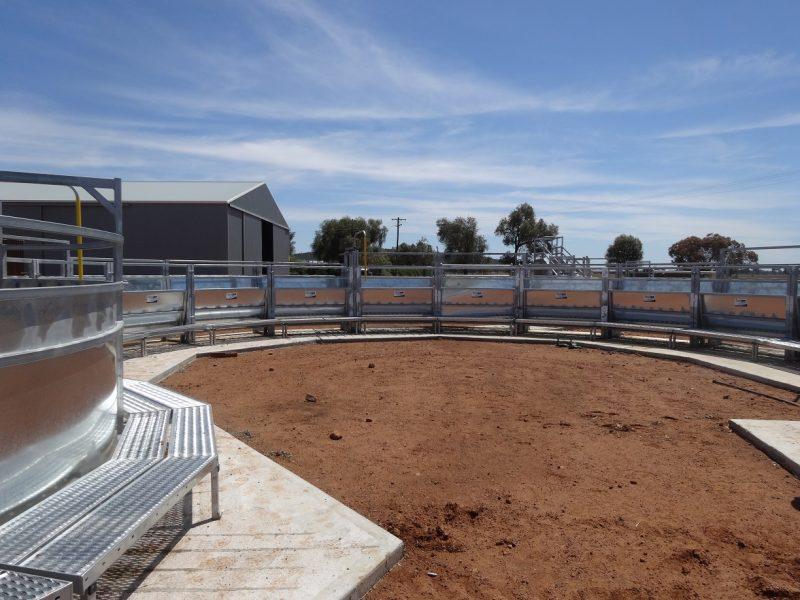 Cattle Race (7)